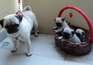 мопс малки кученца