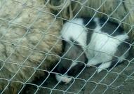 Подарявам овчарски кученца