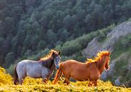 Подобно на другите представители от семейство коне...