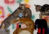 Бенгалската котка е една от най-красивите и редки породи на земята